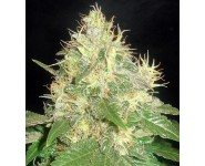 NORTHERN LIGHT BLUE Delicious Seeds