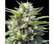 Graines feminisées Northern Lights Auto