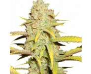 OG KUSH Royal Queen Seeds