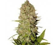 Graines autoflorissantes Pineapple Express