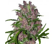 Graines autoflorissantes Purple Bud Automatic