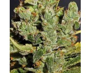 ROYAL CHEESE Royal Queen Seeds