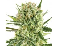 Graines autoflorissantes Royal Cookies Automatic