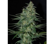 SWEET BLACK ANGEL Samsara Seeds