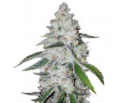 Graines autoflorissantes West Coast OG