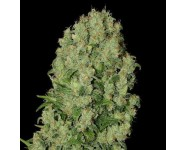 Graines cannabis White Russian