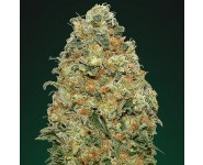 WHITE WIDOW 00 Seeds
