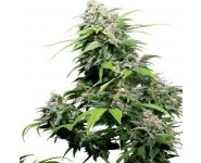 Graines cannabis California Indica
