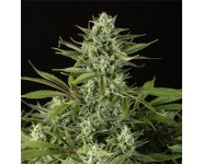 Graines Cheese Cbd Dinafem