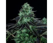 Graines cannabis Darkstar Kush