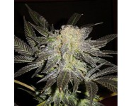 MENDOCINO MADNESS TH Seeds