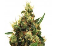 PAINKILLER XL Royal Queen Seeds