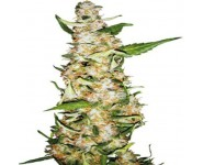 Graines Skunk#1 Automatique