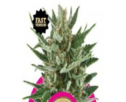 SPEEDY CHILE FAST VERSION Royal Queen Seeds