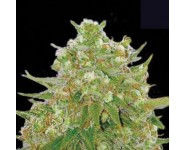 Graines Master Kush Grand